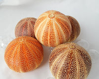 english channel sea urchin, large sea urchin, xl sea urchin, extra large sea urchin, specimen sea urchin