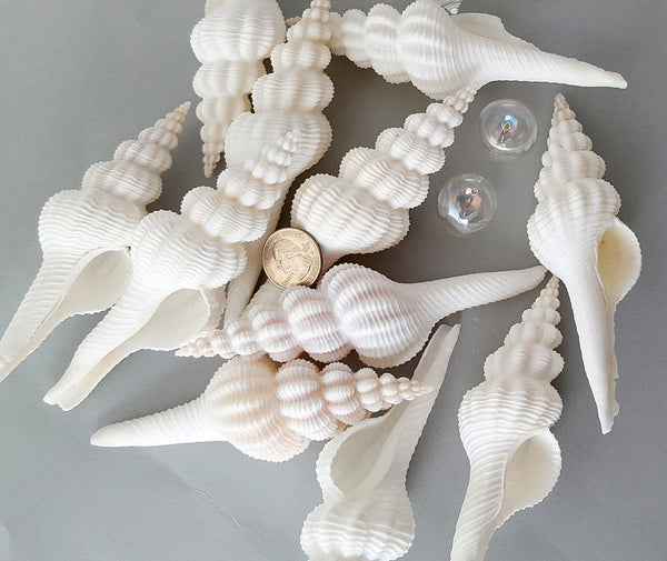 spindle shell, spindle seashell, white spindle shell, white spindle seashell, beach wedding shell, white wedding shell, white collector shell, white specimen shell