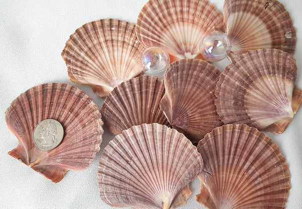 flat scallop shells, flat scallop seashells, scallops, mexican flat scallop shells, beach wedding shells