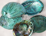 green abalone shell, green abalone seashell, aqua abalone shell, aqua abalone seashell, specimen shell, collector shell