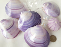 purple clam shell, purple seashell, lavender seashell, lavender clam shell, lavender shell, purple shell