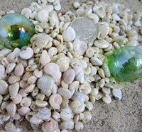 umbonium shells, umbonium seashells, wedding shells, craft shells, tiny craft shells, tiny white shells