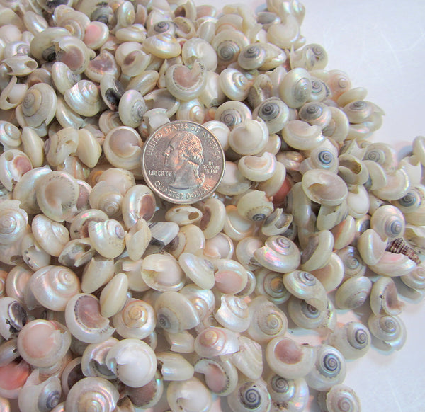 pearl umbonium seashells, pearl umbonium shells, tiny craft shells, tiny jewelry shells, tiny pearl shells, beach wedding shells