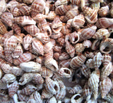 knobby nassa shells, nassa seashells, tiny shells, small shells, jewelry shells, tiny jewelry seashells, small craft shells