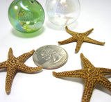 brown bay starfish, bay star fish, brown starfish, small brown starfish, small starfish