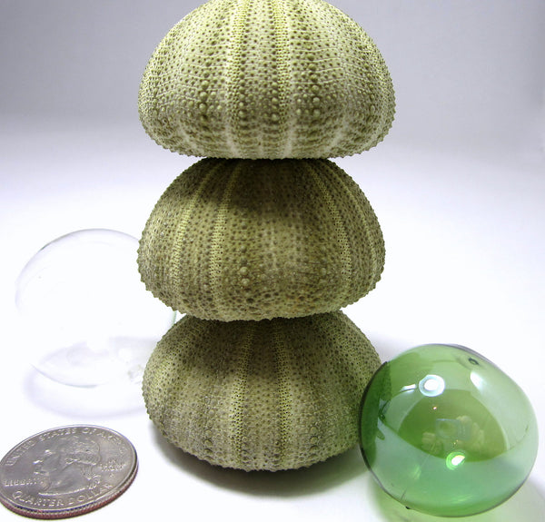 green sea urchin, striped sea urchin, sea urchin shell, sea urchin seashell, beach wedding shells
