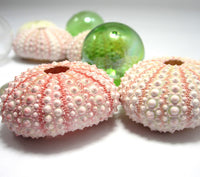 Pink sea urchin, pink shell, pink seashell, sea urchin, bulk sea urchins, pink sea shells