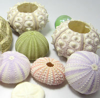 sea urchin assortment, sea urchin set, sea urchin shells, sea urchin seashells, bulk sea urchins