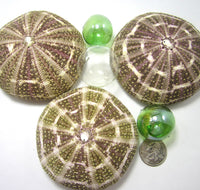 alfonso sea urchin, alphonso sea urchin, large sea urchin, sea urchin shell, sea urchin seashell, green sea urchin