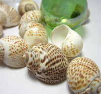 nautica seashells, brown nautica shells, nautica tigrina seashells, brown spotted shells, spotted shells, craft shells