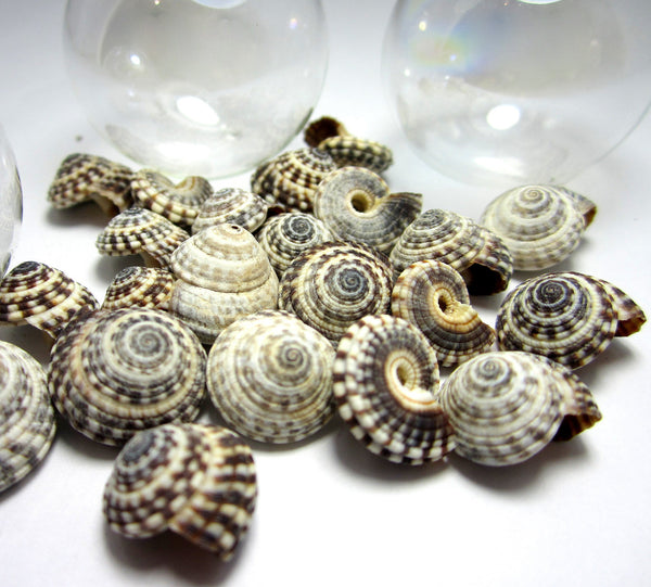 heliacus seashells, heliacus shells, black and white shells, small craft shells, black shells