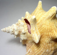 giant pink conch shell, pink conch seashell, conch shell, conch seashell, horn seashell, pink conch, large seashells