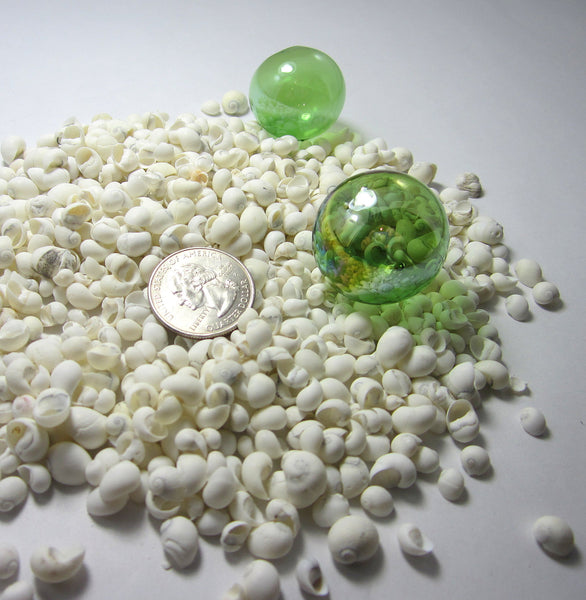 white litorina shells, white litorina seashells, tiny white shells, white wedding shells, white craft shells, tiny shells