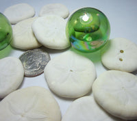 sea biscuits, small sea biscuits, puffy sand dollars, beach wedding shells, white seashells