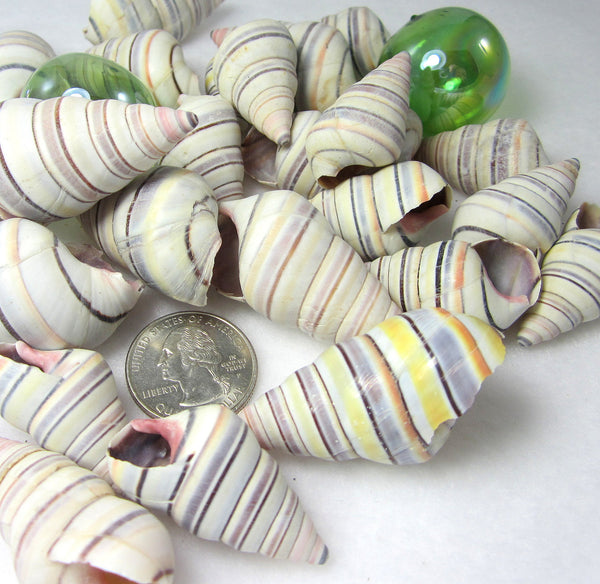 Haitian tree snail, Haitian tree shell, Haitian tree seashell, striped tree snail, tree snail, striped shell, striped seashell