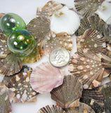 scallop shells, scallop seashells, pectin shells, pectin seashells, scallops, beach wedding shells, craft scallop shells