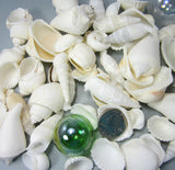 white shell mix, white seashell mix, beach wedding shells, beach wedding seashells, beach wedding decor, white craft shells, bulk white shells, bulk white seashells