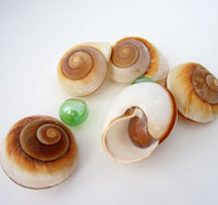 muffin snail, muffin shell, muffin seashell, cinnamon roll shell, cinnamon bun shell, hermit crab shell