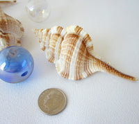 murex shell, murex seashell, snipes bill murex, specimen seashell