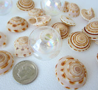 sundial shell, sun dial shell, beach wedding shell, brown spiral shell, spiral seashell