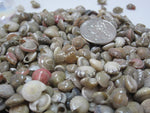 colored umbonium shells, umbonium seashells, tiny shells, tiny seashells, tiny jewelry shells, tiny craft shells,