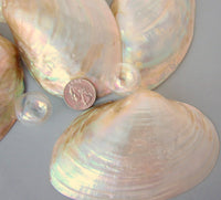 clam shells, clam seashells, pearl clam shell, pearl clam seashell, white wedding shell, clams