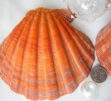 orange scallop shells, orange scallops, shell bra seashells, baking scallops, XL shells, orange shells, lion's paw, lions paw