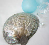 gray abalone shell, gray abalone seashell, green abalone, abalone shell, abalone seashell, collector shell, specimen shell