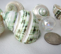 green turbo shell, turbo seashell, pearl turbo shell, hermit crab shell, hermit crab seashell, beach wedding shell, turbo