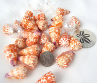 conus tessulatus, spotted cone shell, spotted seashells, spotted shells, orange shells, orange seashells, jewelry shells