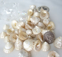 astrea turban shells, astrea turban, small shells, small seashells, astrea shells, turban shells, beach wedding shells