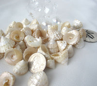 "Astrea Pearl Turban Seashells, Turban Shells, Small White Wedding Pearl Shells, .5 to 1.25"", 24PC"