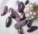 purple tellin, purple tellin shell, purple tellin seashell, purple shells, dark purple shells, lavender shells