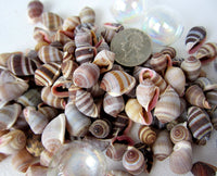 nucleus shell, nucleus seashell, small cone shell, tiny cone shell, bulk craft shells, bulk craft seashells, small brown shells