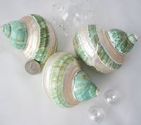 green turban shell, green turbo shell, banded turbo shell, pearl turbo shell, pearl turban shell, collector shell, specimen shell