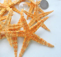 Large flat starfish, Philippine flat starfish, oriental starfish, large brown starfish, star fish, XL flat starfish
