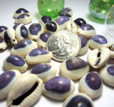 purple cowrie, purple cowrie shell, purple cowrie seashell, purple shell, cowrie shell