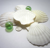 baking scallop shell, irish baking scallop, baking scallop, cooking shells, baking shells