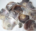 placuna oyster, saddle oyster, common oyster, purple oyster, large oyster, wind chime shells
