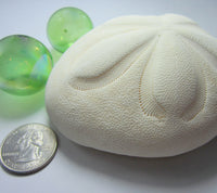 large sea biscuit, large sand dollar, large white sea urchin, beach wedding shell, sea biscuit
