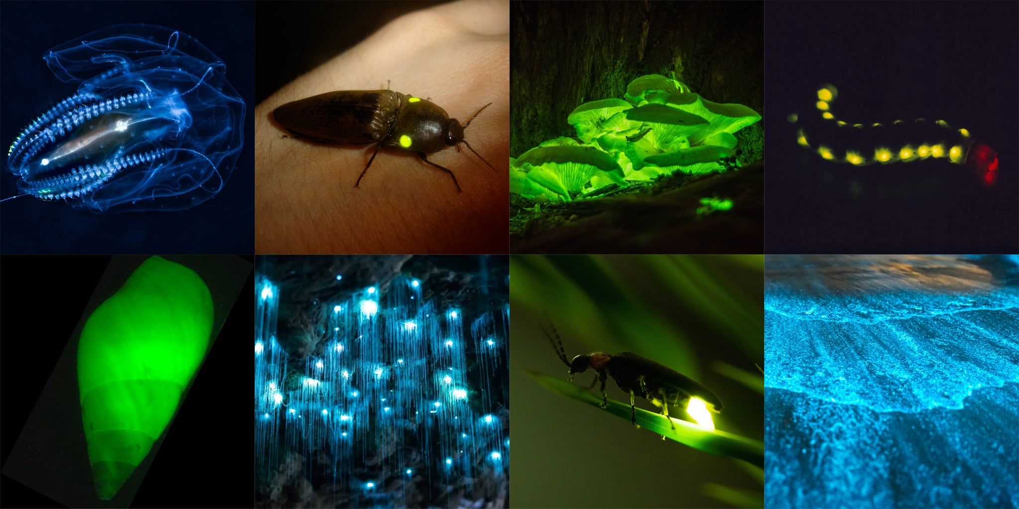 Examples of bioluminescent organisms