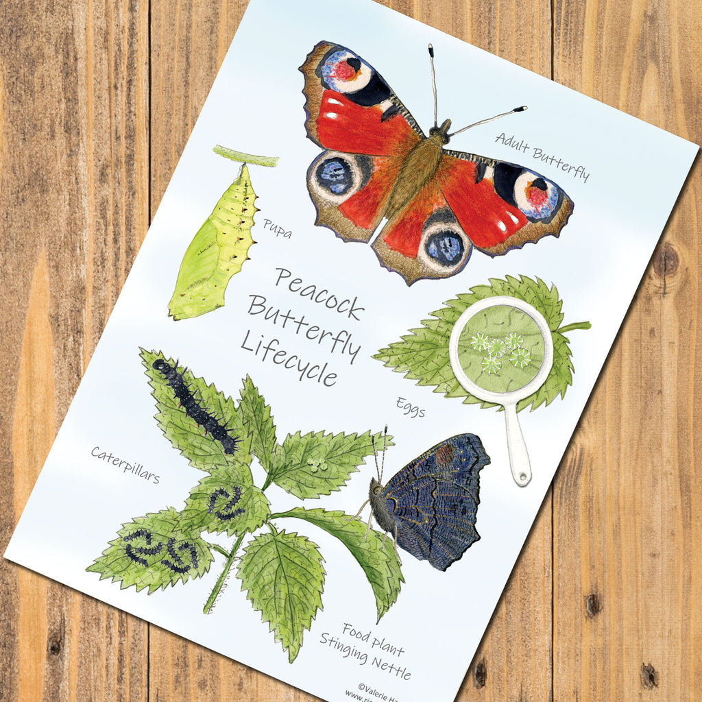 A5 Butterfly Lifecycle Postcard