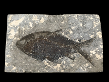Load image into Gallery viewer, Jiang hanichthys fossil fish; Hubei, China - Alexandria Mineral Shop