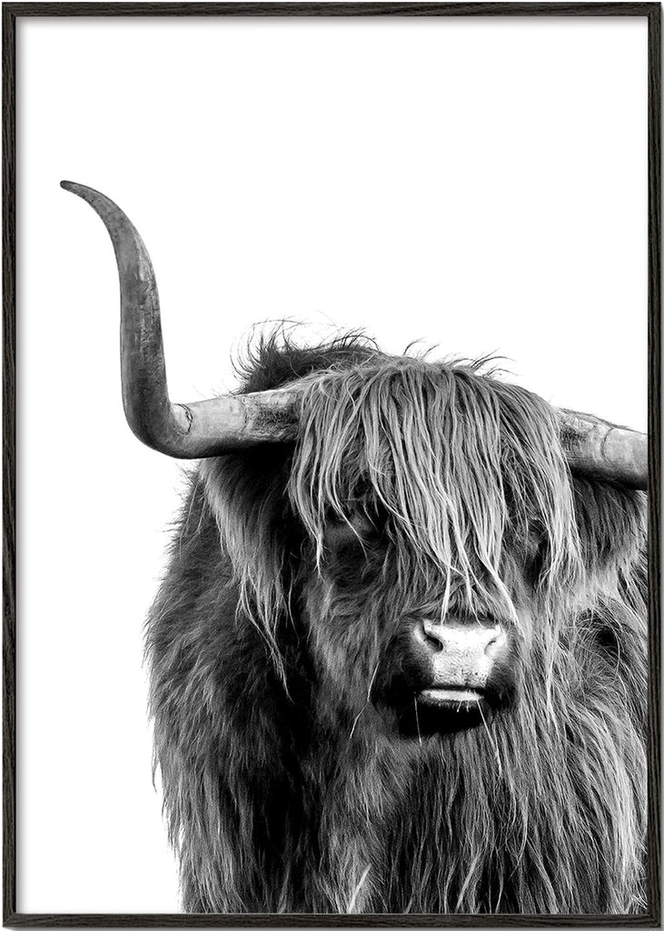 Highlands bull