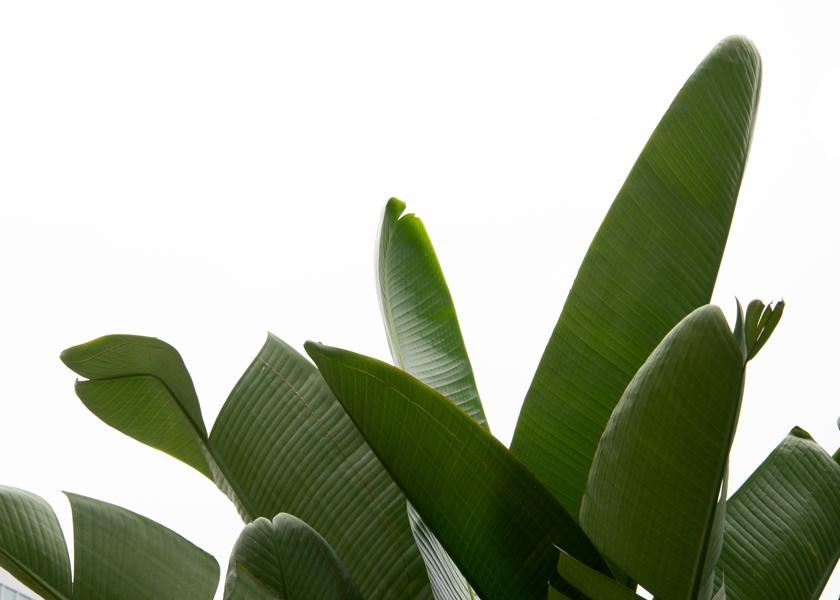 Travellers Palm Leaves 03