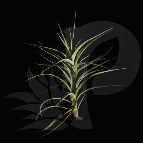 Tillandsia bergeri beautiful airplant for sale
