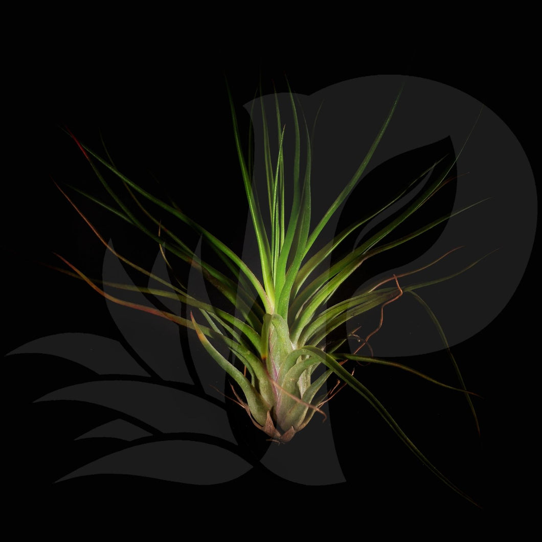 Tillandsia bulbosa hybrid, beautiful airplant for sale