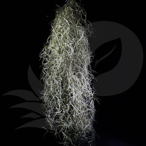 T. usneoides Spanish Moss (Silver leaves), beautiful airplant with care guide