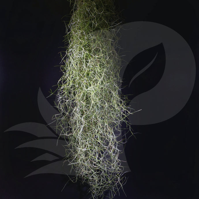 Tillandsia usneoides Spanish Moss (Fine leaves), beautiful airplant for sale