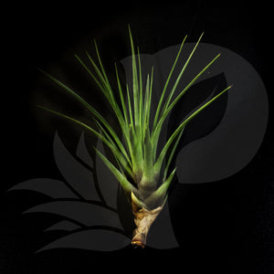 Tillandsia tricolor (small), beautiful airplant for sale
